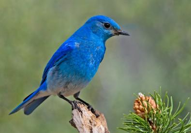 bluebirds-vistas-vines