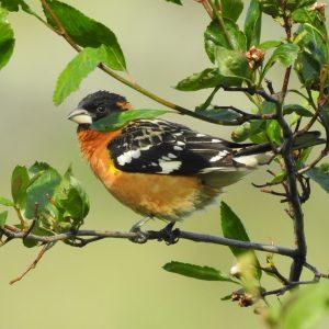 Cottonwoods Birding Tour