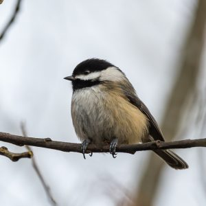 Chickadee sitting in a tree